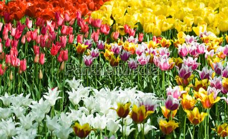 flor planta flores tulipas holanda primavera