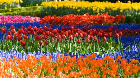 tulipas e jacinto de uvas comuns