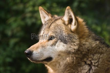 lobo cinzento europeu