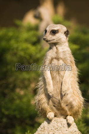 meerkat ou mongoose feminino