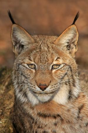 animal gato olhos orelhas pele predador