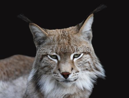 mamifero retrato predador gato lince ressaca