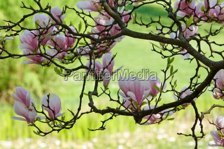 magnolias em framp65533uehling