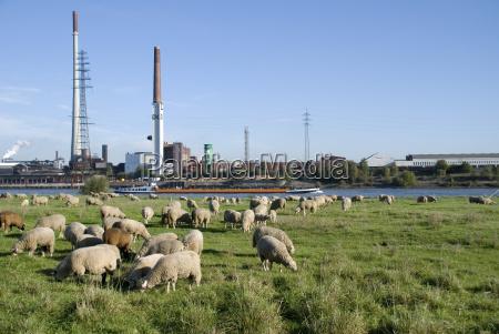 pastagem de ovelhas