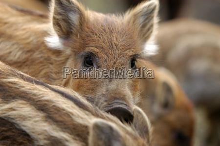 animal javali porco animais jovens de