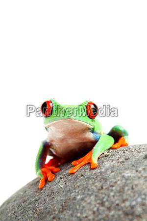 pedra anfibio verde rocha sapo natureza