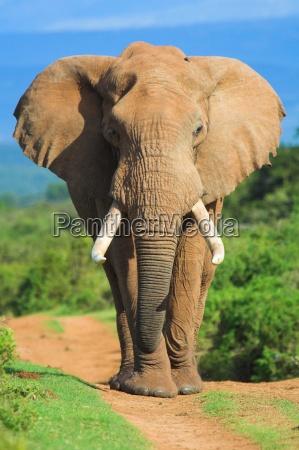 retrato do elefante