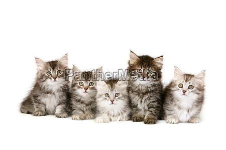 gatinhos siberian em uma fileira