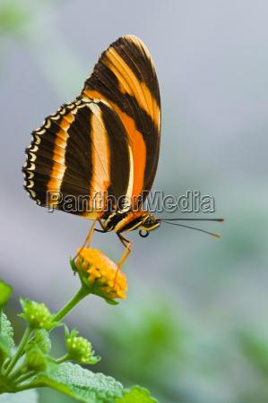 banded orange tiger butterfly on lantana