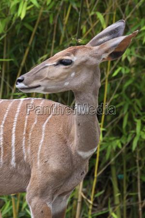africa menor antilope