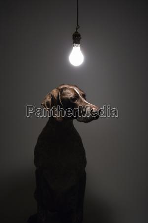cao sob a lampada