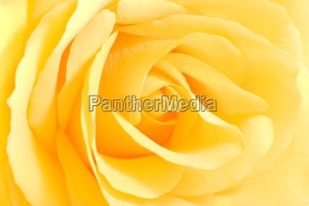 flor planta rosa flores suave rosas