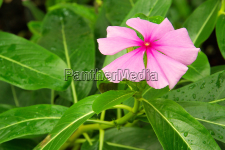 catharanthus 01