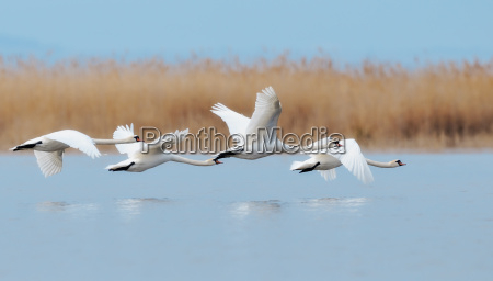 cisnes no voo