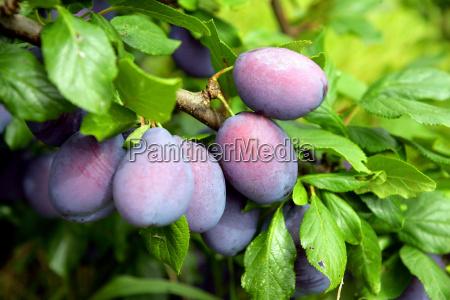 folhas fruta ameixa ameixas