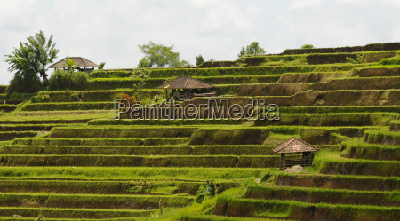 campos do arroz bali indonesia