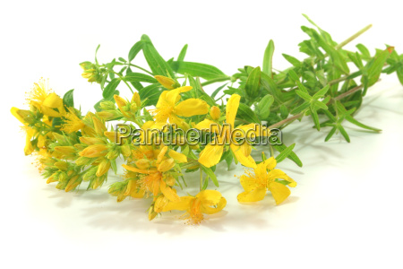 repolho erva plantas medicinais hypericum ervas