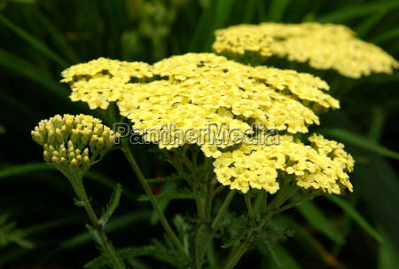 yarrow decorativo amarelo