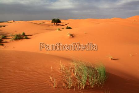 palma duna marrocos prado grama gramado