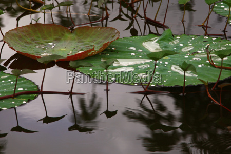 folha lotus agua doce lago agua