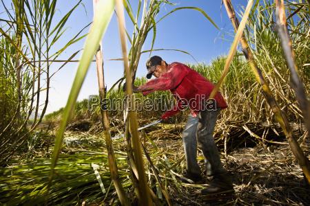 agricultor colher acucar bastoes campo tamasopo