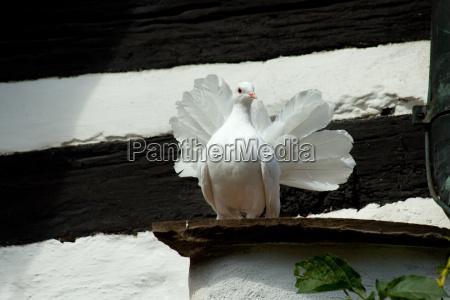 pombos hahn