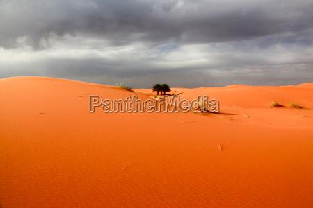 deserto africa palma duna marrocos sahara