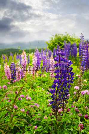purple and pink garden lupin flowers