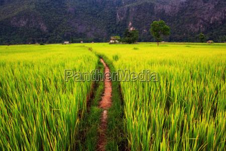 agricola agricultura milharal arrozais arroz grao