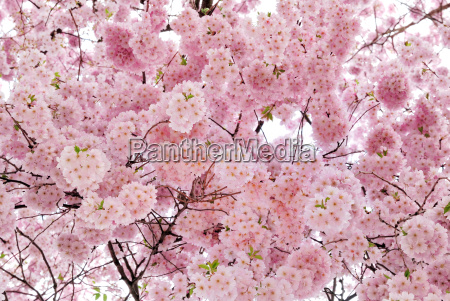 softly glowing cherry blossoms on the