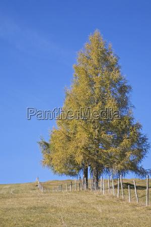 conifera larico prado queda outono