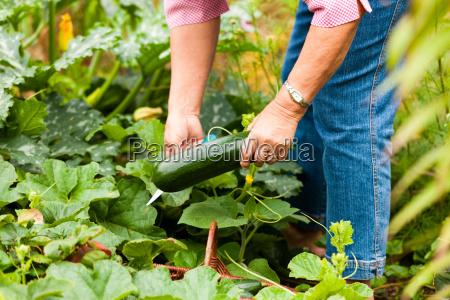 woman reaps zucchini in the garden