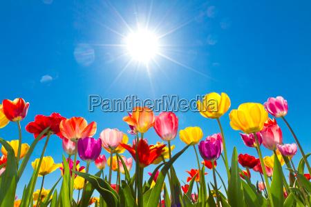 tulipas ao sol