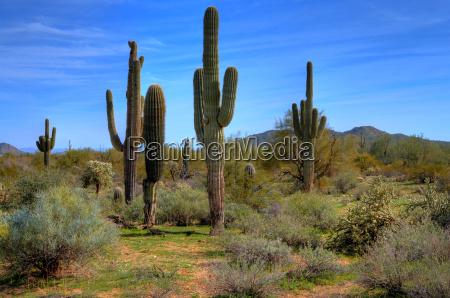 saguaro cacti na primavera