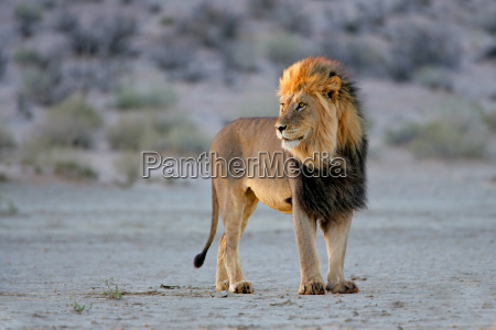 grande leao africano masculino