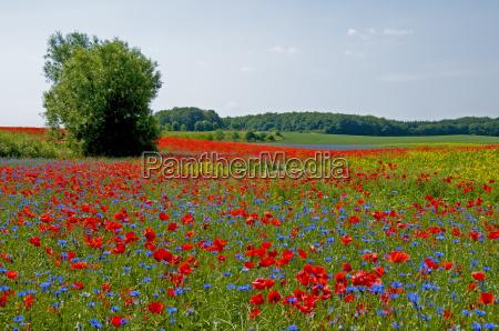 prado da flor em mecklenburg