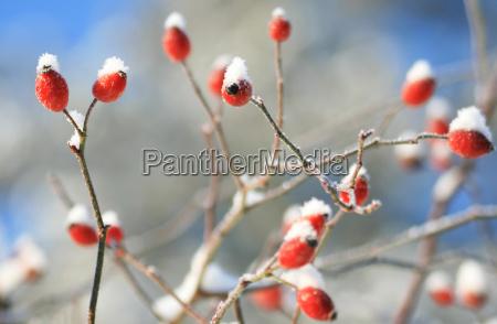 rosehip no inverno