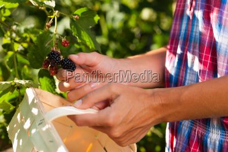woman picking berries in the garden