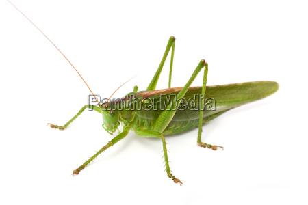grande bush verde cricket tettigonia viridissima