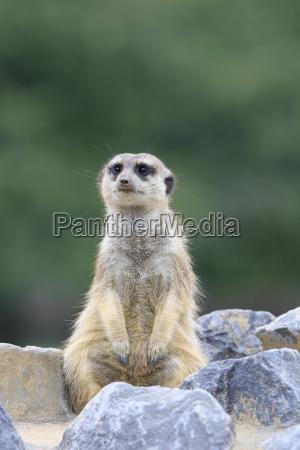 meerkats no close up