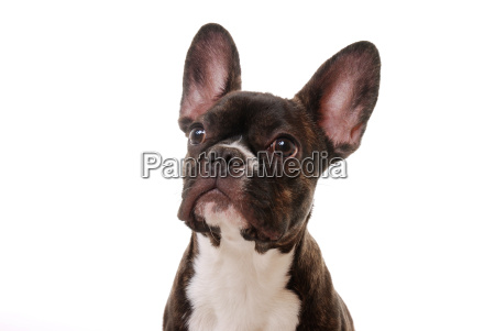 cao buldogue dog pedigree