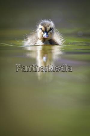 natacao patinho pequeno bonito na agua