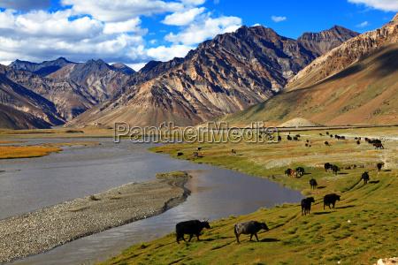 india bovino rebanho montanha himalaia yak