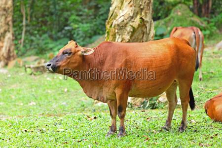 animal mamifero curiosidade touro agricultura campo