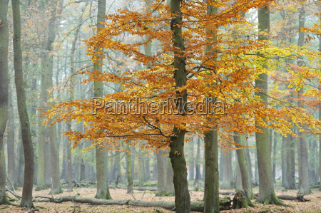 autumn in wisentgehege forest springe germany