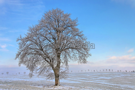 icy linde in winter