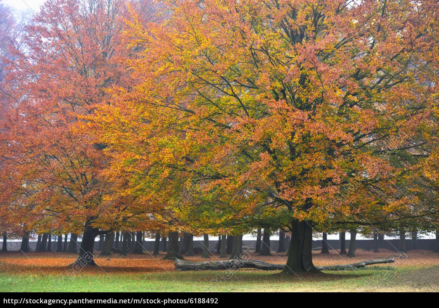 outono, em, wisentenjege, wald, springe, alemanha. - 6188492