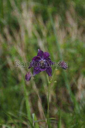 orquidea selvagem da montanha