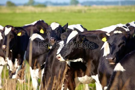 gado novo com tag da orelha