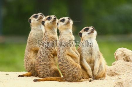 grupo bonito de suricatos suricata sentar